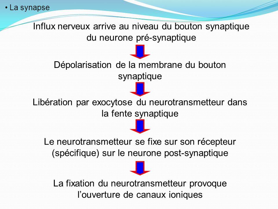 La synapse Influx nerveux arrive au niveau du bouton synaptique du neurone pré-synaptique Dépolarisation de la membrane du bouton synaptique Libératio