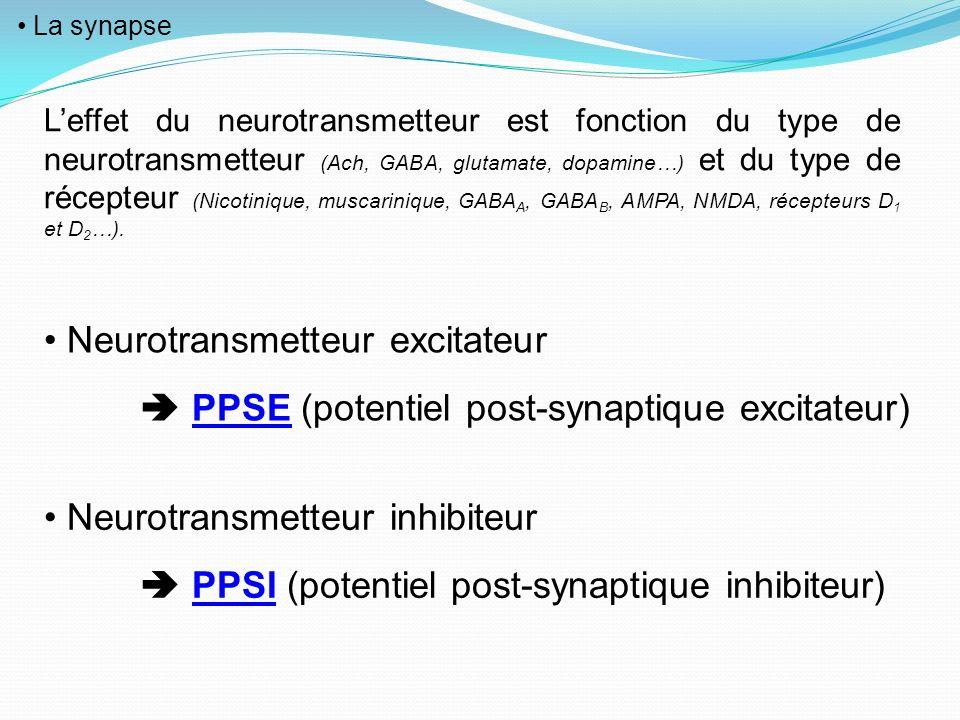 La synapse Leffet du neurotransmetteur est fonction du type de neurotransmetteur (Ach, GABA, glutamate, dopamine…) et du type de récepteur (Nicotiniqu