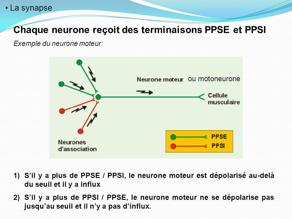 La synapse Chaque neurone reçoit des terminaisons PPSE et PPSI Exemple du neurone moteur: 1)Sil y a plus de PPSE / PPSI, le neurone moteur est dépolar