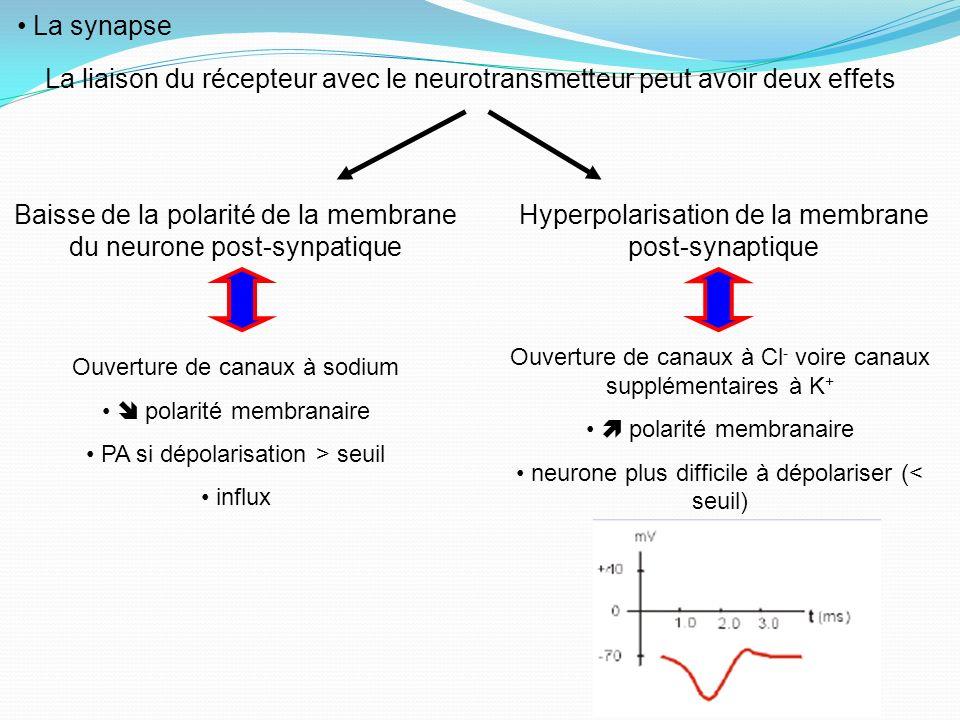 La synapse La liaison du récepteur avec le neurotransmetteur peut avoir deux effets Baisse de la polarité de la membrane du neurone post-synpatique Hy