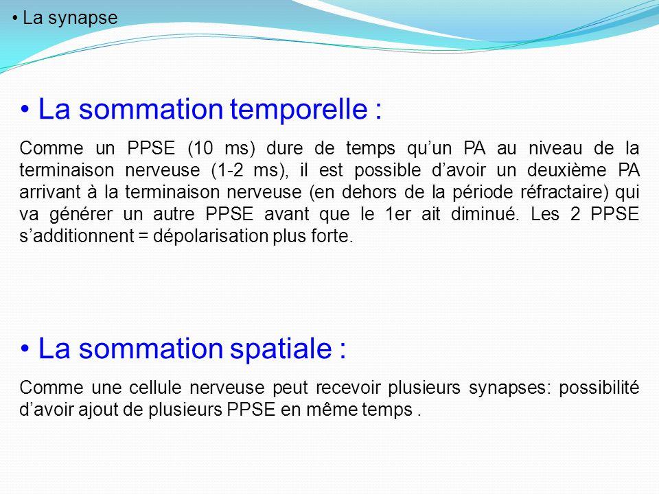La synapse La sommation temporelle : Comme un PPSE (10 ms) dure de temps quun PA au niveau de la terminaison nerveuse (1-2 ms), il est possible davoir
