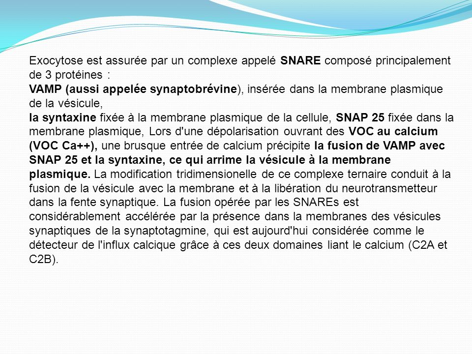 Exocytose est assurée par un complexe appelé SNARE composé principalement de 3 protéines : VAMP (aussi appelée synaptobrévine), insérée dans la membra