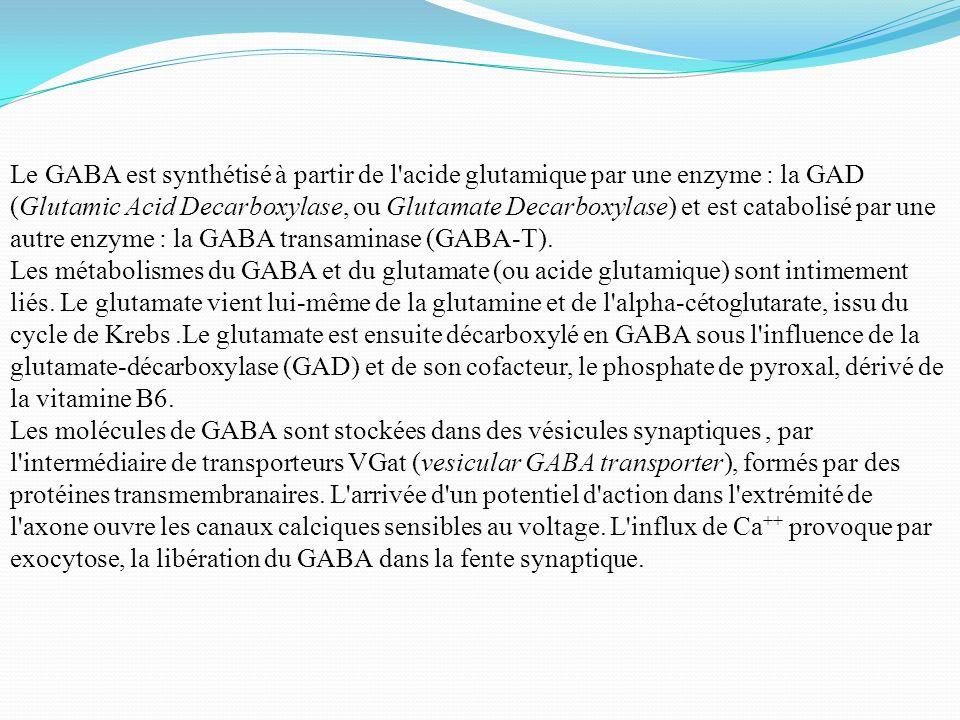 Le GABA est synthétisé à partir de l'acide glutamique par une enzyme : la GAD (Glutamic Acid Decarboxylase, ou Glutamate Decarboxylase) et est catabol