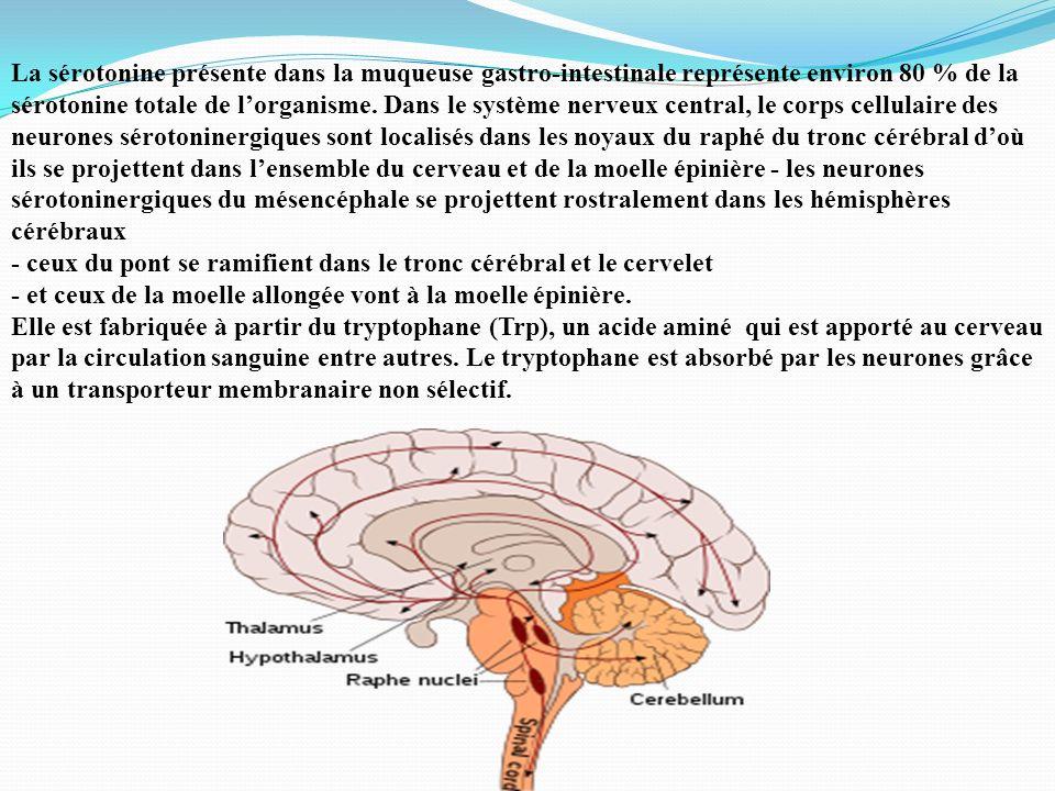 La sérotonine présente dans la muqueuse gastro-intestinale représente environ 80 % de la sérotonine totale de lorganisme. Dans le système nerveux cent