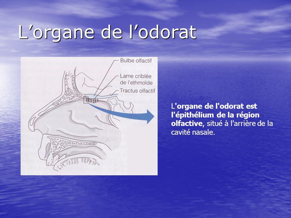 L'organe de l'odorat est l'épithélium de la région olfactive, situé à l'arrière de la cavité nasale. Lorgane de lodorat