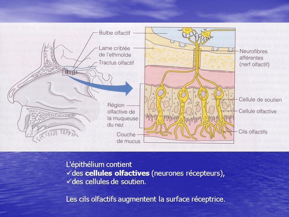 L'épithélium contient des cellules olfactives (neurones récepteurs), des cellules de soutien. Les cils olfactifs augmentent la surface réceptrice.