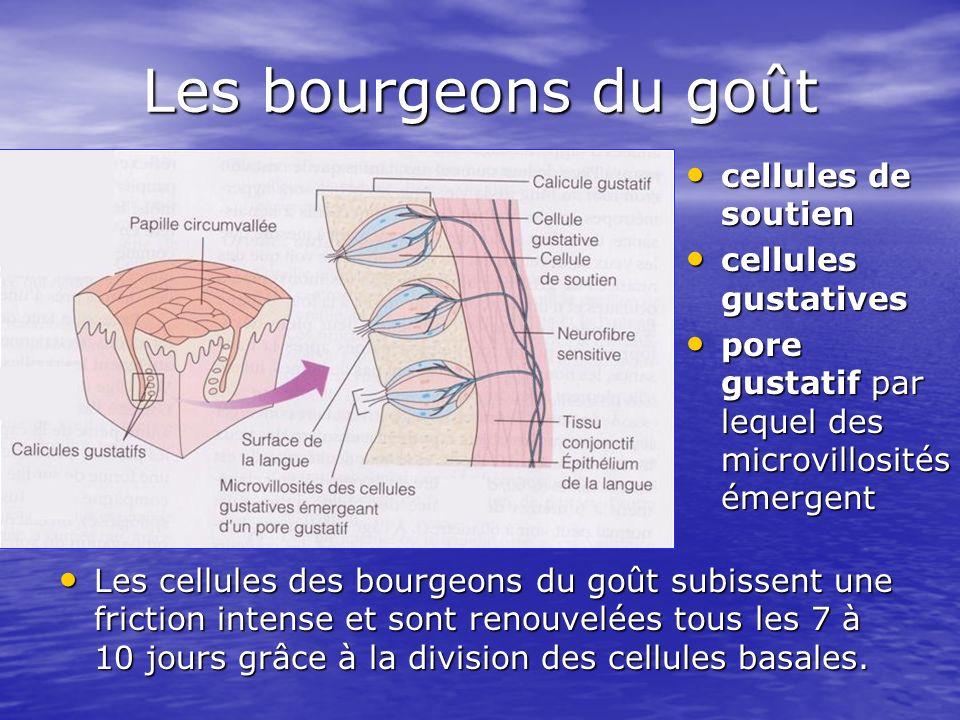 Les bourgeons du goût Les cellules des bourgeons du goût subissent une friction intense et sont renouvelées tous les 7 à 10 jours grâce à la division