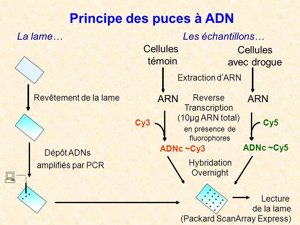 Les échantillons… Cellules témoin Cellules avec drogue Extraction dARN ARN ADNc ~Cy3 Reverse Transcription (10µg ARN total) en présence de fluorophore