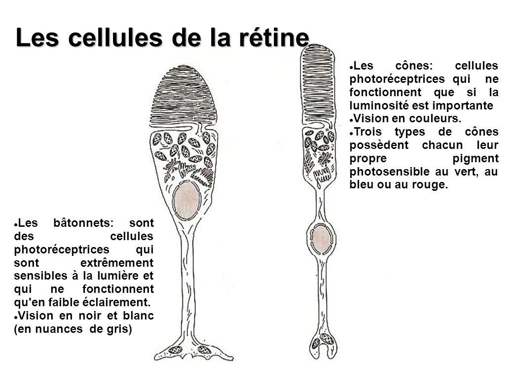 Les bâtonnets: sont des cellules photoréceptrices qui sont extrêmement sensibles à la lumière et qui ne fonctionnent qu'en faible éclairement. Vision