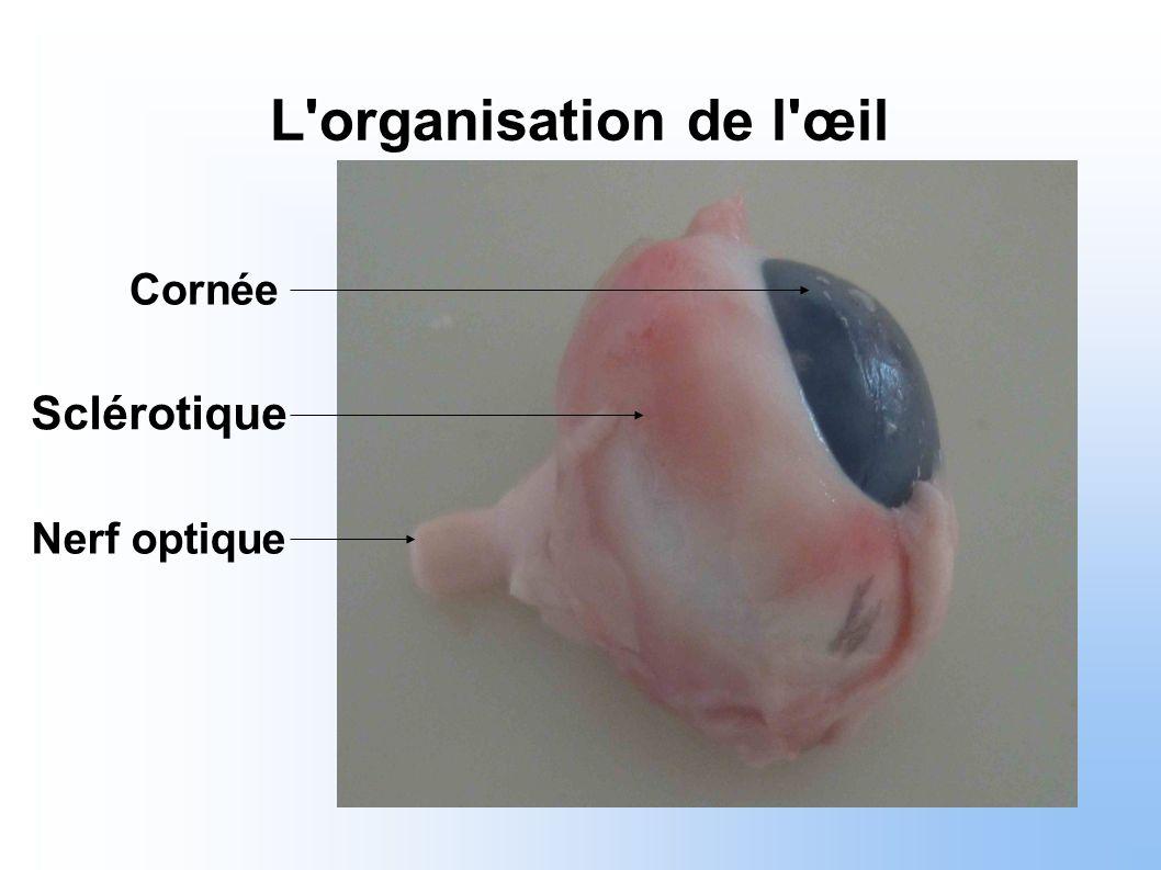 Nerf optique Sclérotique Cornée L'organisation de l'œil