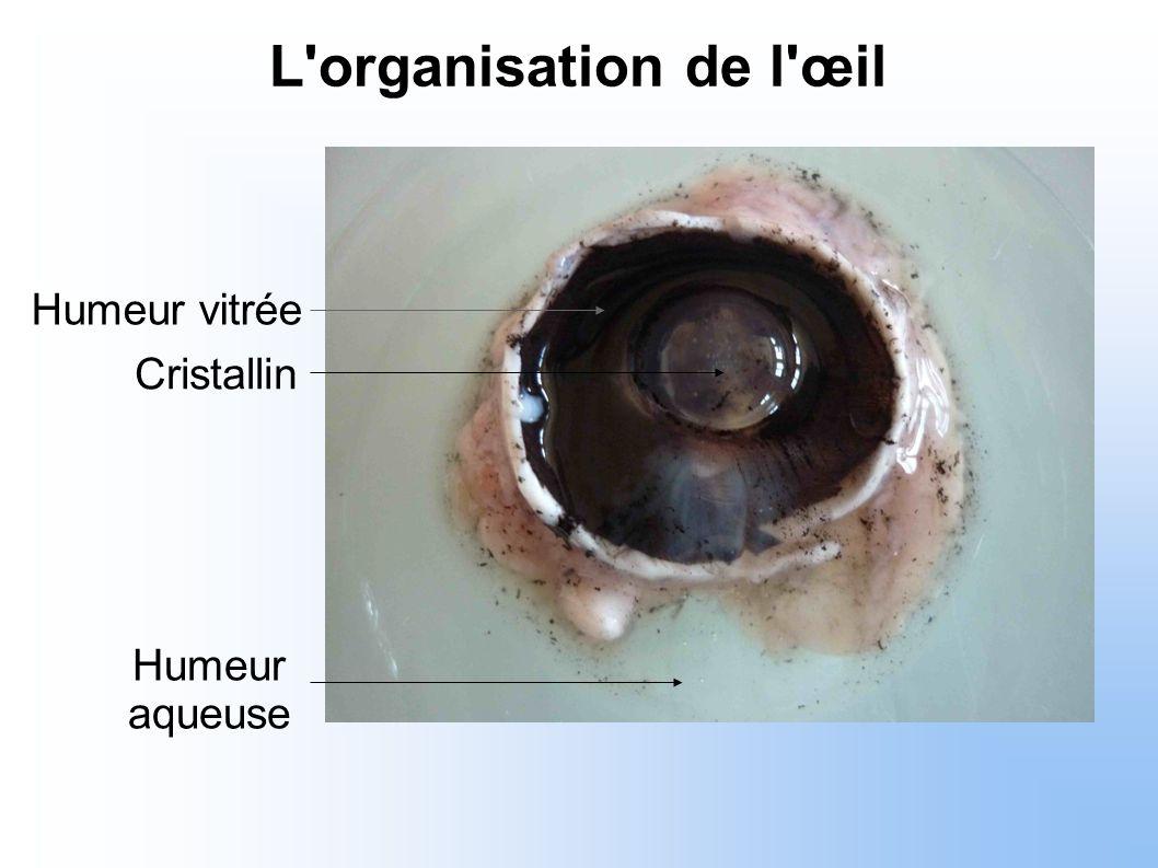 Humeur aqueuse Cristallin Humeur vitrée L'organisation de l'œil