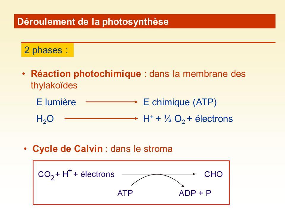 Déroulement de la photosynthèse 2 phases : Réaction photochimique : dans la membrane des thylakoïdes Cycle de Calvin : dans le stroma E lumièreE chimique (ATP) H2OH2OH + + ½ O 2 + électrons
