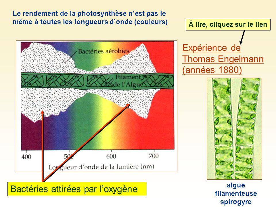 Expérience de Thomas Engelmann (années 1880) À lire, cliquez sur le lien Bactéries attirées par loxygène algue filamenteuse spirogyre Le rendement de la photosynthèse nest pas le même à toutes les longueurs donde (couleurs)