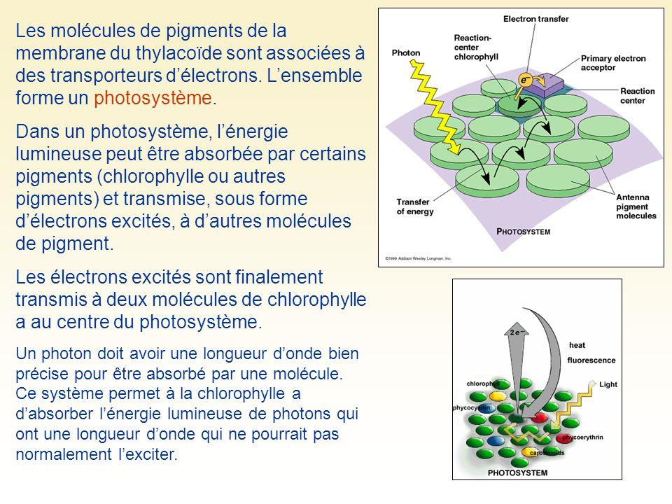 Les molécules de pigments de la membrane du thylacoïde sont associées à des transporteurs délectrons. Lensemble forme un photosystème. Dans un photosy
