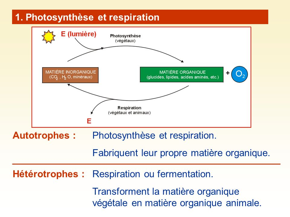 1. Photosynthèse et respiration Photosynthèse et respiration. Fabriquent leur propre matière organique. Autotrophes : Hétérotrophes : Respiration ou f