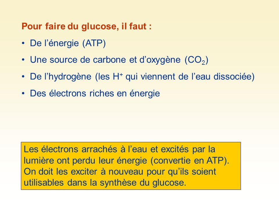 Pour faire du glucose, il faut : De lénergie (ATP) Une source de carbone et doxygène (CO 2 ) De lhydrogène (les H + qui viennent de leau dissociée) Des électrons riches en énergie Les électrons arrachés à leau et excités par la lumière ont perdu leur énergie (convertie en ATP).