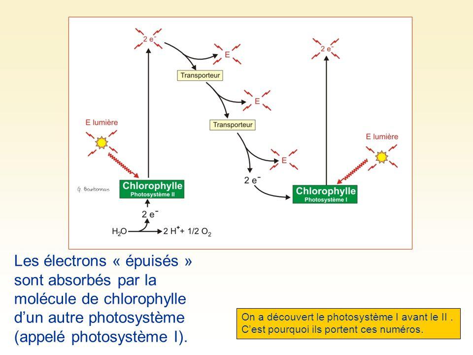 Les électrons « épuisés » sont absorbés par la molécule de chlorophylle dun autre photosystème (appelé photosystème I).