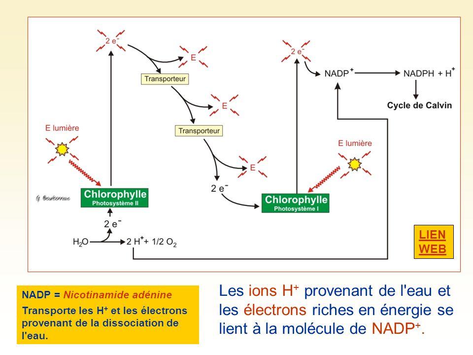 Les ions H + provenant de l'eau et les électrons riches en énergie se lient à la molécule de NADP +. NADP = Nicotinamide adénine dinucléotide phosphat