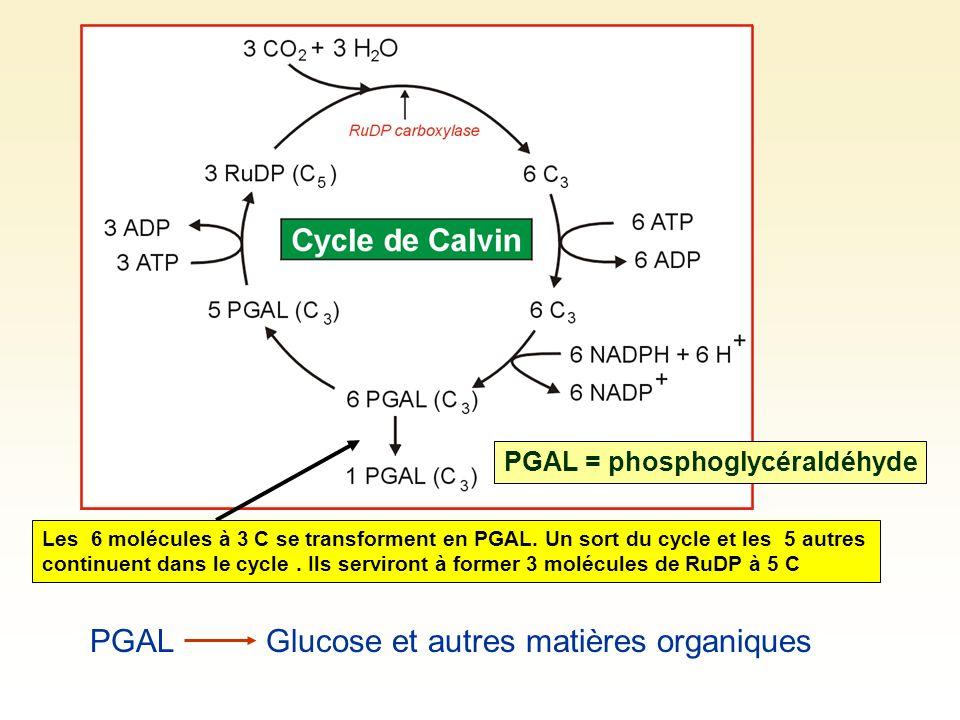 PGALGlucose et autres matières organiques PGAL = phosphoglycéraldéhyde Les 6 molécules à 3 C se transforment en PGAL.