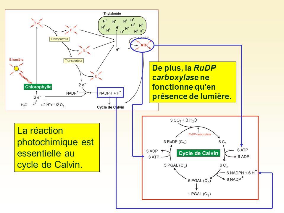 La réaction photochimique est essentielle au cycle de Calvin. De plus, la RuDP carboxylase ne fonctionne qu'en présence de lumière.