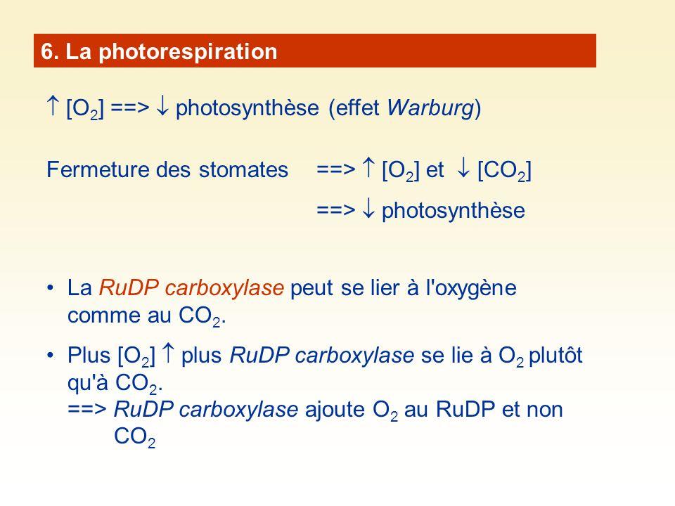 6. La photorespiration [O 2 ] ==> photosynthèse (effet Warburg) Fermeture des stomates ==> [O 2 ] et [CO 2 ] ==> photosynthèse La RuDP carboxylase peu