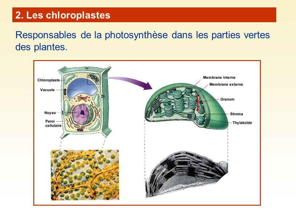 Origine évolutive des chloroplastes et des mitochondries