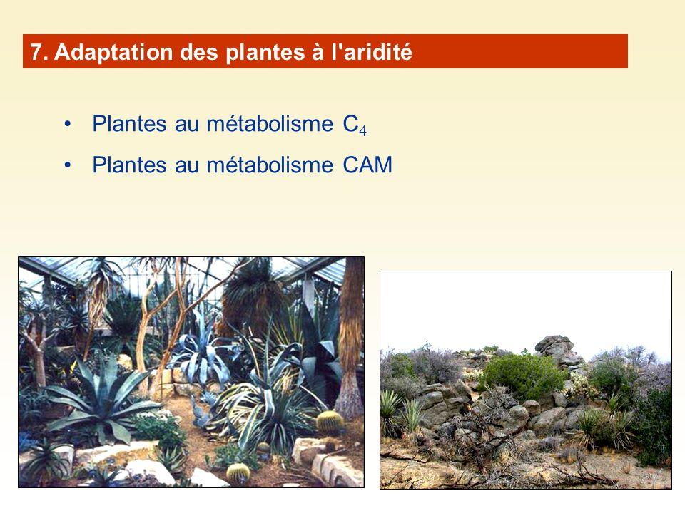 7. Adaptation des plantes à l'aridité Plantes au métabolisme C 4 Plantes au métabolisme CAM
