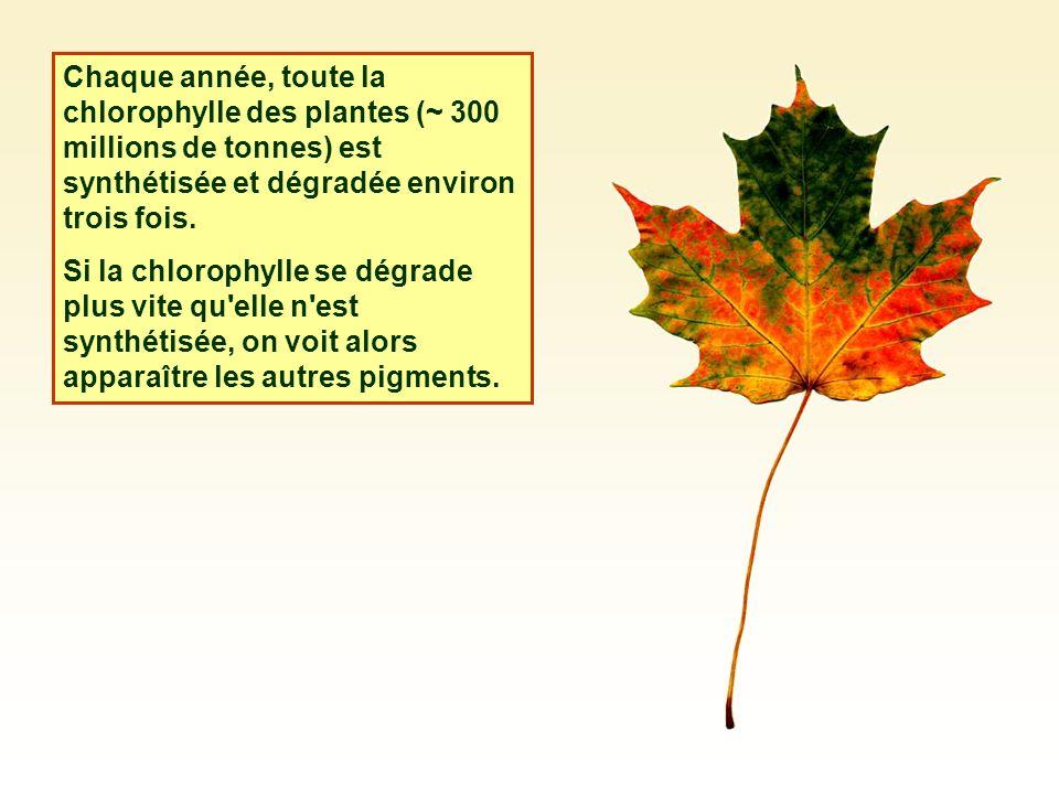 Chaque année, toute la chlorophylle des plantes (~ 300 millions de tonnes) est synthétisée et dégradée environ trois fois. Si la chlorophylle se dégra