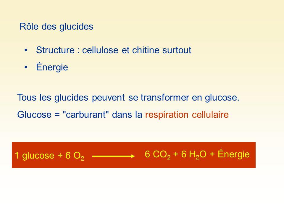 Rôle des glucides Structure : cellulose et chitine surtout Énergie Tous les glucides peuvent se transformer en glucose. Glucose =