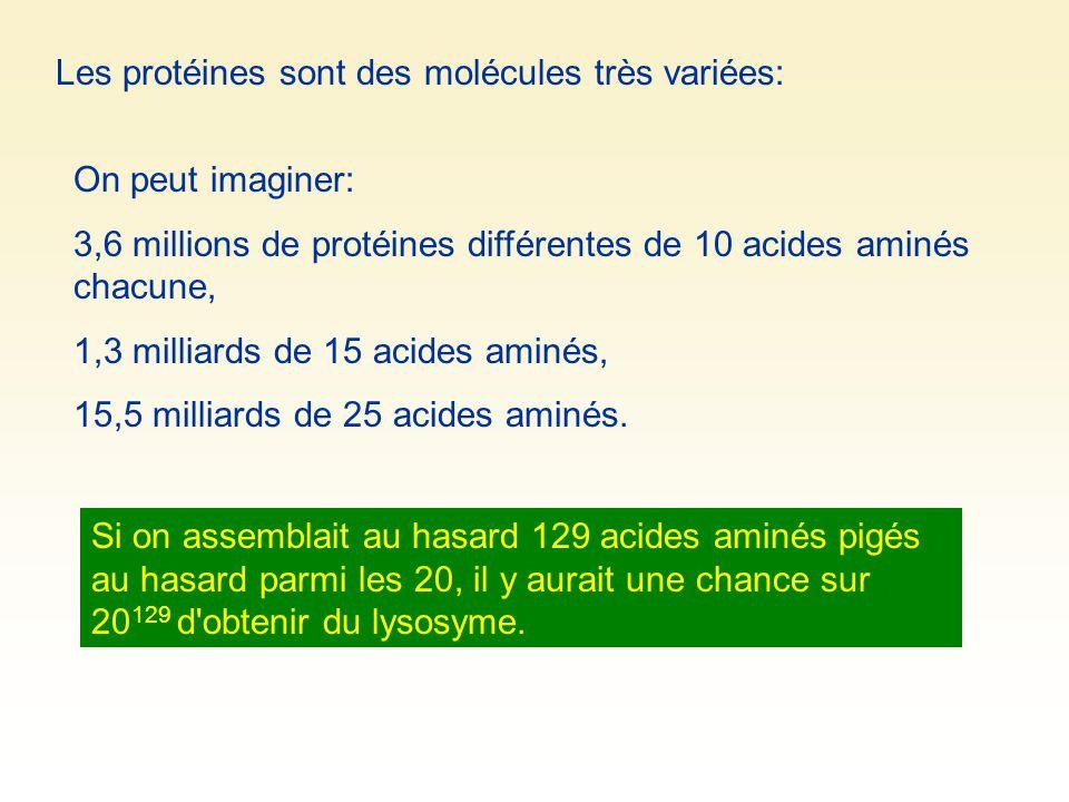 Les protéines sont des molécules très variées: On peut imaginer: 3,6 millions de protéines différentes de 10 acides aminés chacune, 1,3 milliards de 1