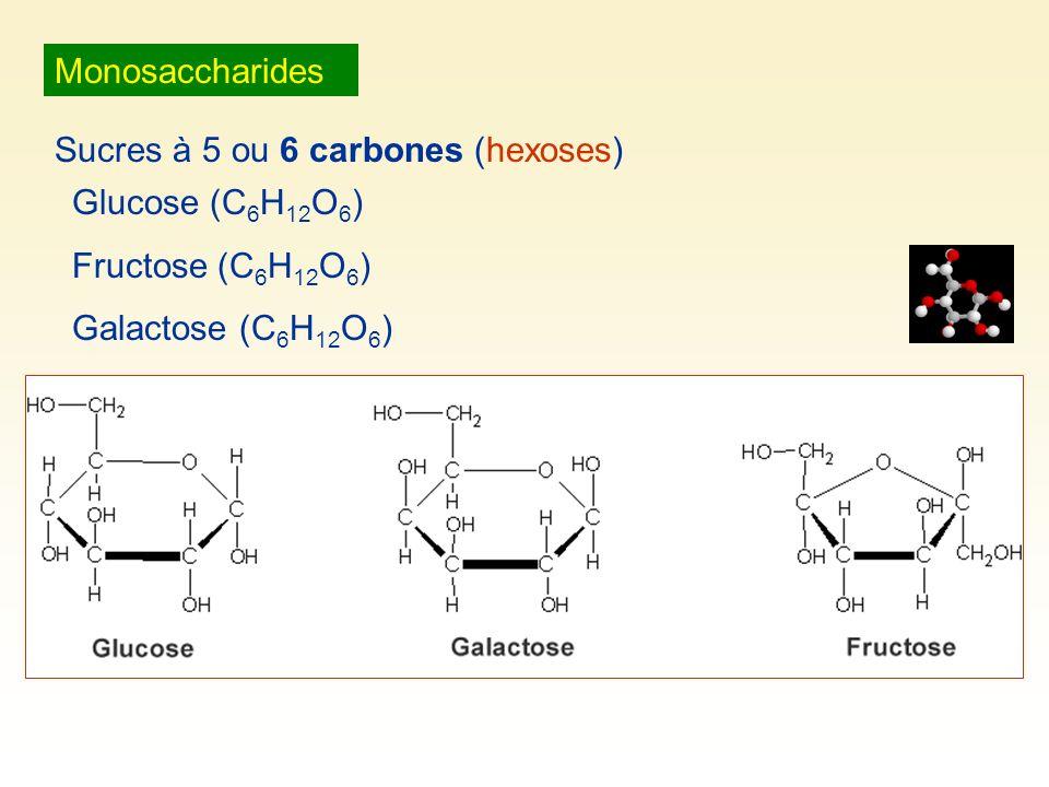 Monosaccharides Sucres à 5 ou 6 carbones (hexoses) Glucose (C 6 H 12 O 6 ) Fructose (C 6 H 12 O 6 ) Galactose (C 6 H 12 O 6 )