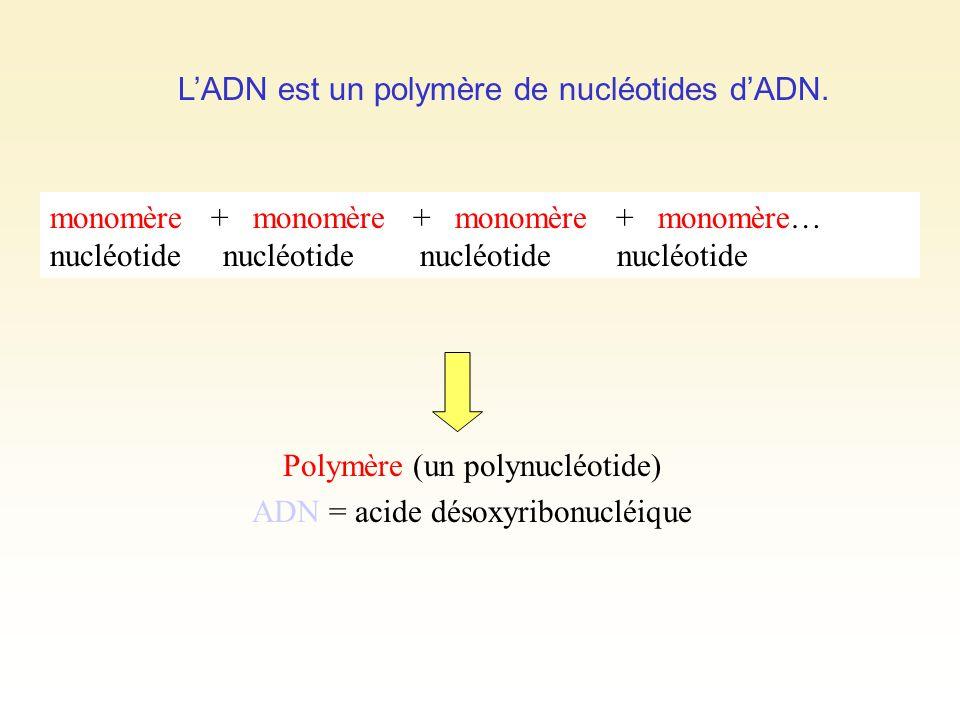 LADN est un polymère de nucléotides dADN. monomère + monomère + monomère + monomère… nucléotide nucléotide Polymère (un polynucléotide) ADN = acide dé