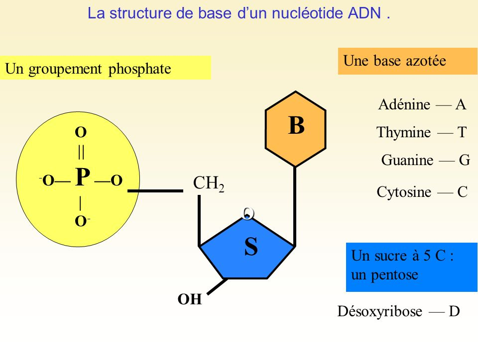 La structure de base dun nucléotide ADN. Un groupement phosphate O O - O P O O - CH 2 B S OH Une base azotée Un sucre à 5 C : un pentose Désoxyribose