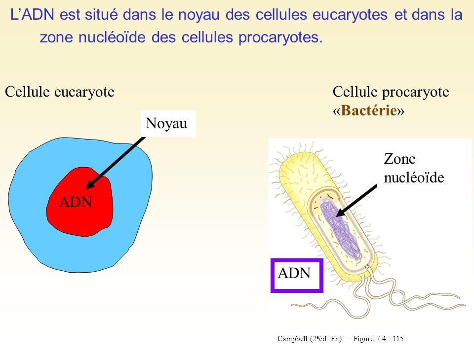 LADN est situé dans le noyau des cellules eucaryotes et dans la zone nucléoïde des cellules procaryotes. Cellule eucaryote ADN Noyau Cellule procaryot