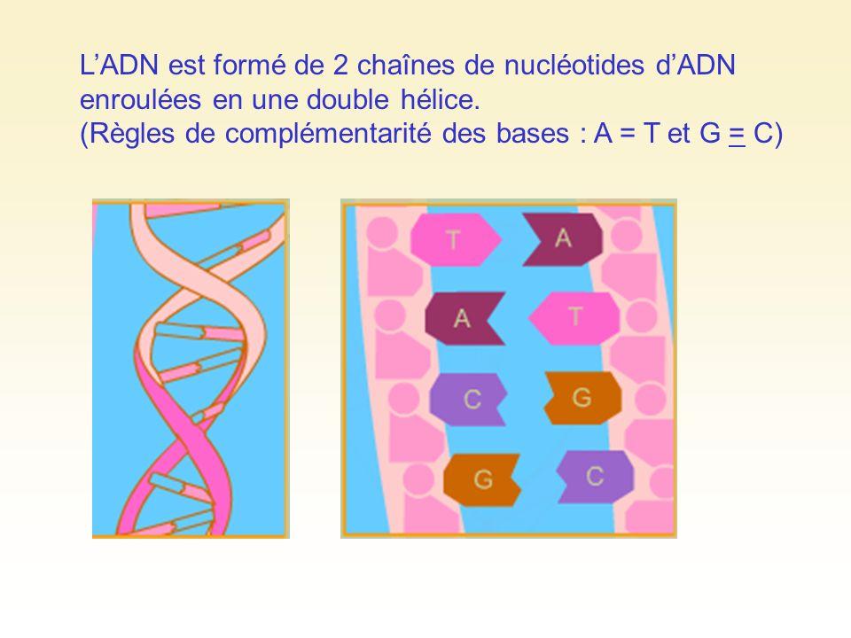 LADN est formé de 2 chaînes de nucléotides dADN enroulées en une double hélice. (Règles de complémentarité des bases : A = T et G = C)