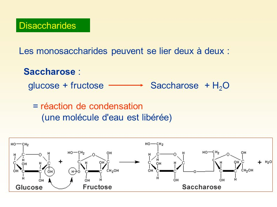 Disaccharides Les monosaccharides peuvent se lier deux à deux : Saccharose : glucose + fructoseSaccharose + H 2 O = réaction de condensation (une molé