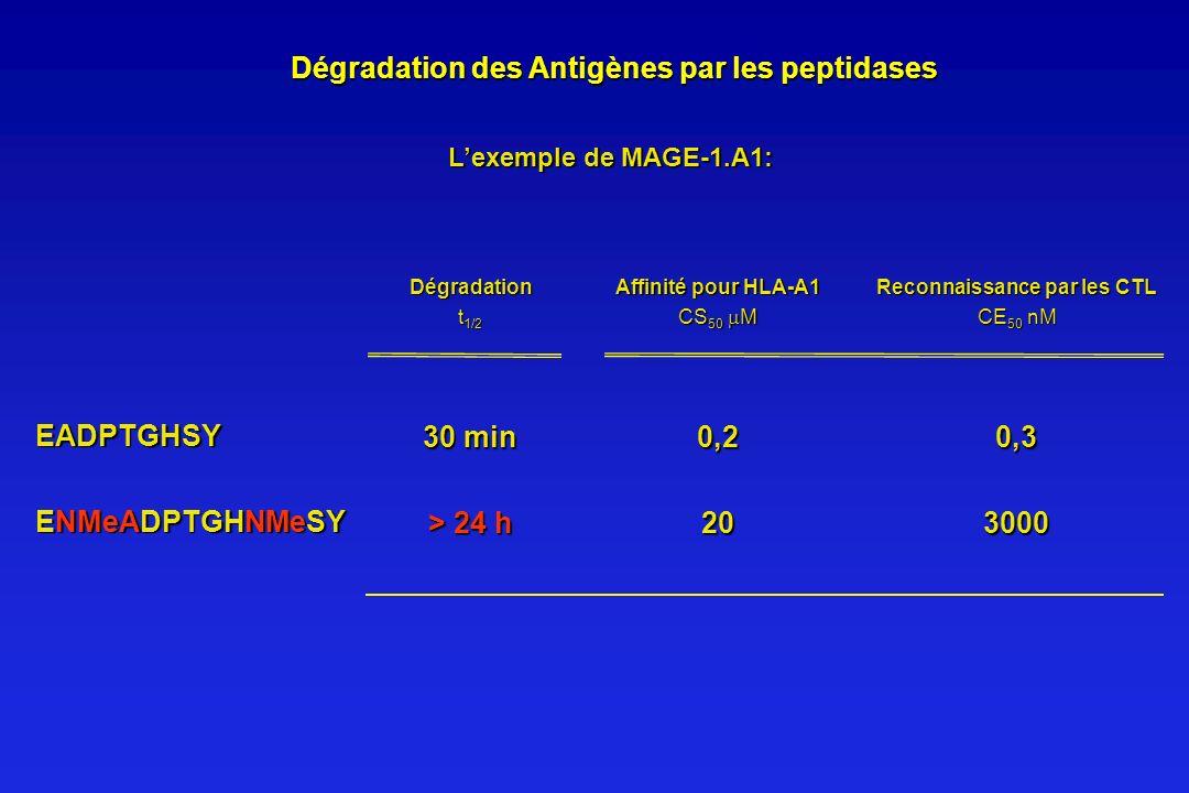 Dégradation des Antigènes par les peptidases Dégradation des Antigènes par les peptidases Lexemple de MAGE-1.A1: Dégradation t 1/2 EADPTGHSY 30 min >