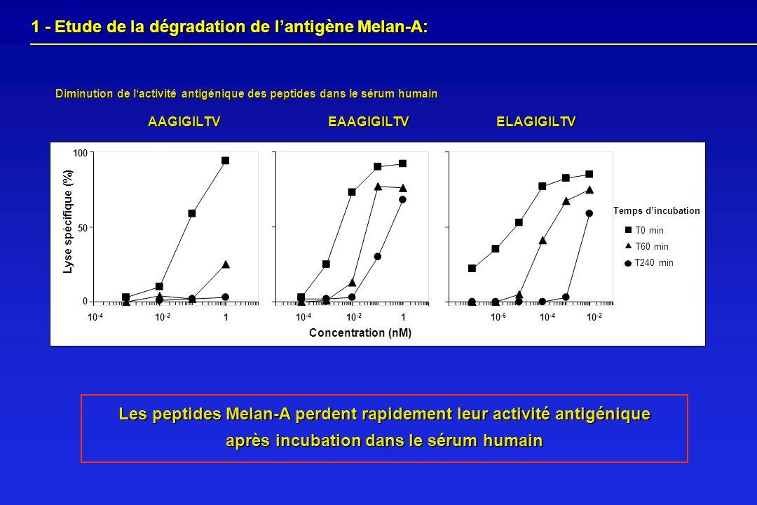 Diminution de lactivité antigénique des peptides dans le sérum humain Les peptides Melan-A perdent rapidement leur activité antigénique après incubati