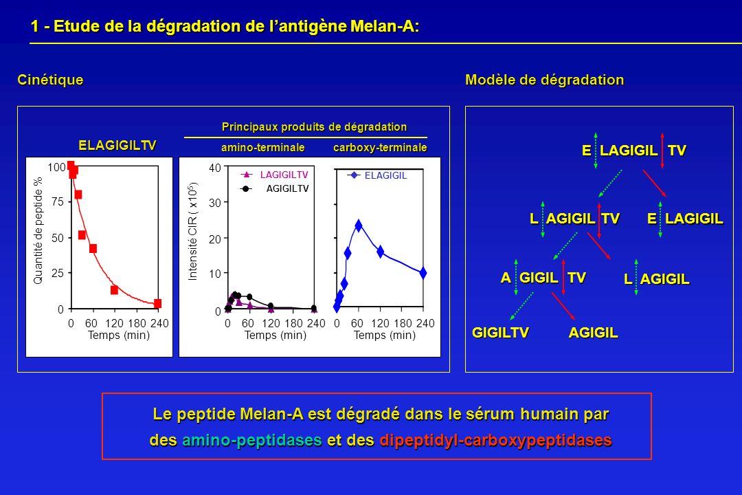 1 - Etude de la dégradation de lantigène Melan-A: 1 - Etude de la dégradation de lantigène Melan-A: Cinétique Modèle de dégradation E LAGIGIL TV A GIG