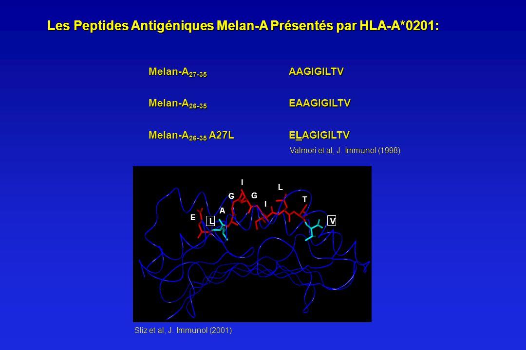 Les Peptides Antigéniques Melan-A Présentés par HLA-A*0201: Les Peptides Antigéniques Melan-A Présentés par HLA-A*0201: Melan-A 27-35 AAGIGILTV Melan-