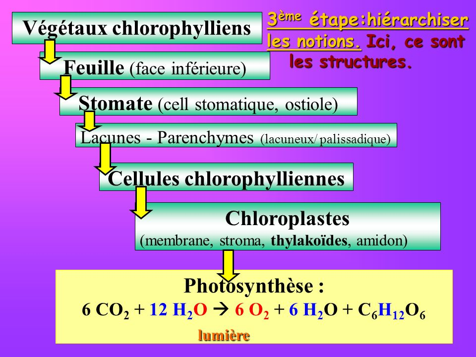 3 ème étape: hiérarchiser les notions. Ici, ce sont les structures. Végétaux chlorophylliens Feuille (face inférieure) Stomate (cell stomatique, ostio