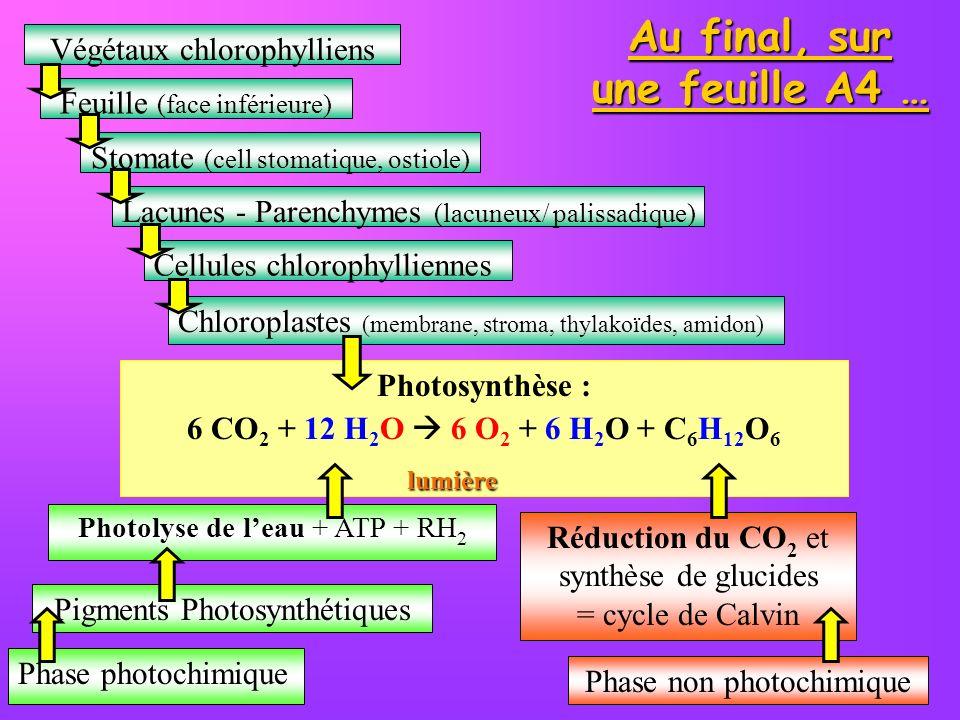 Au final, sur une feuille A4 … Végétaux chlorophylliens Feuille (face inférieure) Stomate (cell stomatique, ostiole) Lacunes - Parenchymes (lacuneux/