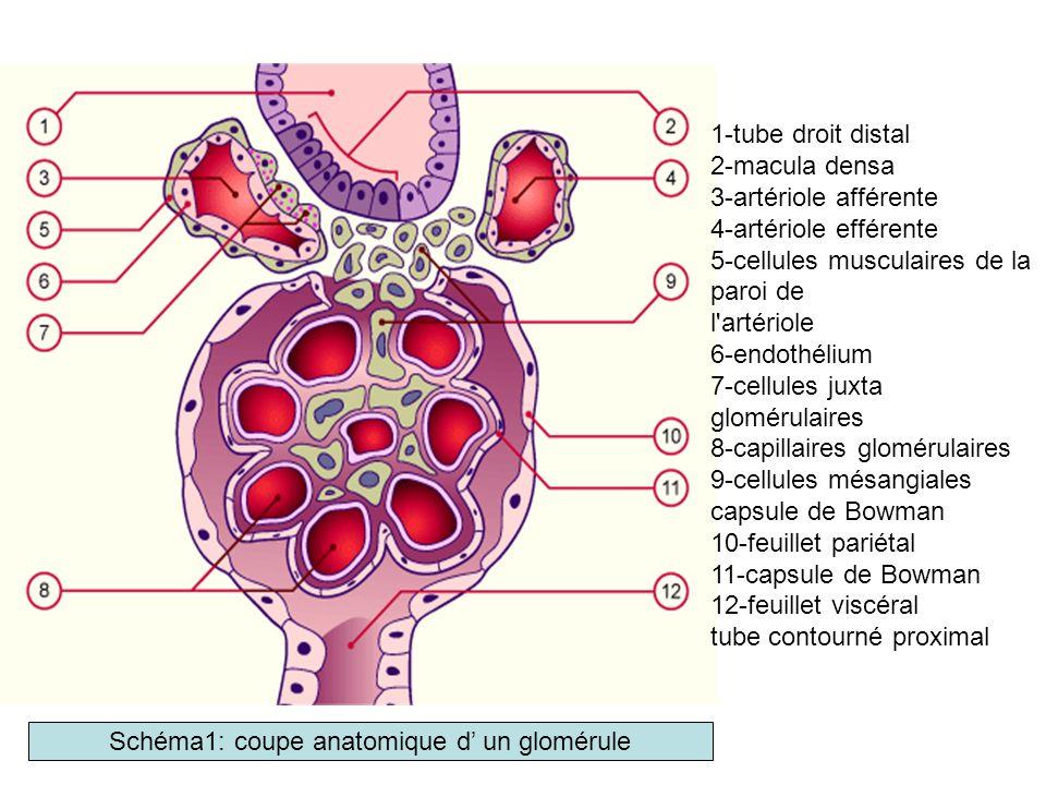 Physiopathologie (2) B- Conséquences du SN chronique: Arbre récapitulatif