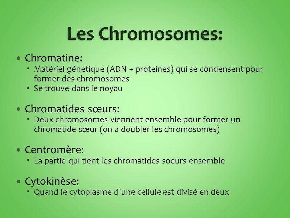 Chromatine: Matériel génétique (ADN + protéines) qui se condensent pour former des chromosomes Se trouve dans le noyau Chromatides sœurs: Deux chromos
