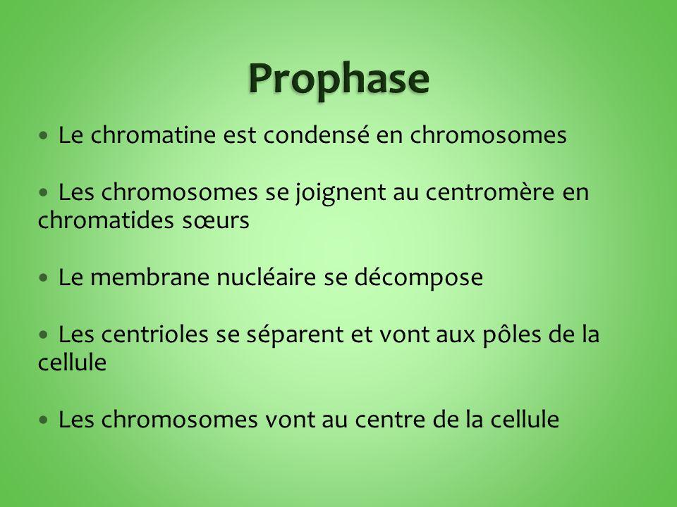 Le chromatine est condensé en chromosomes Les chromosomes se joignent au centromère en chromatides sœurs Le membrane nucléaire se décompose Les centrioles se séparent et vont aux pôles de la cellule Les chromosomes vont au centre de la cellule