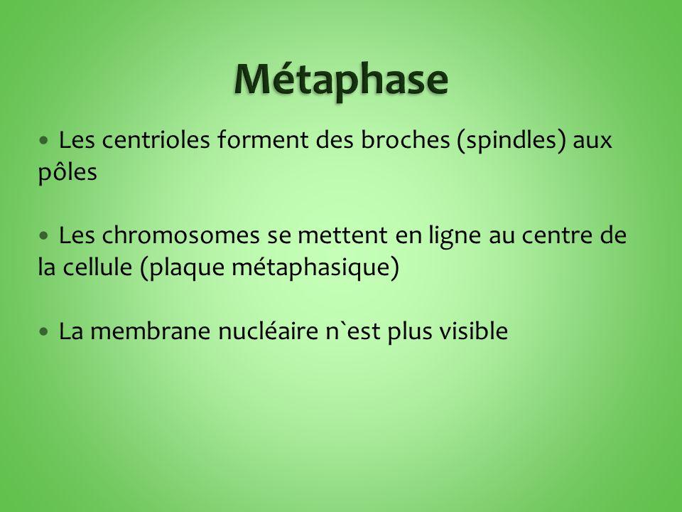 Les centrioles forment des broches (spindles) aux pôles Les chromosomes se mettent en ligne au centre de la cellule (plaque métaphasique) La membrane nucléaire n`est plus visible