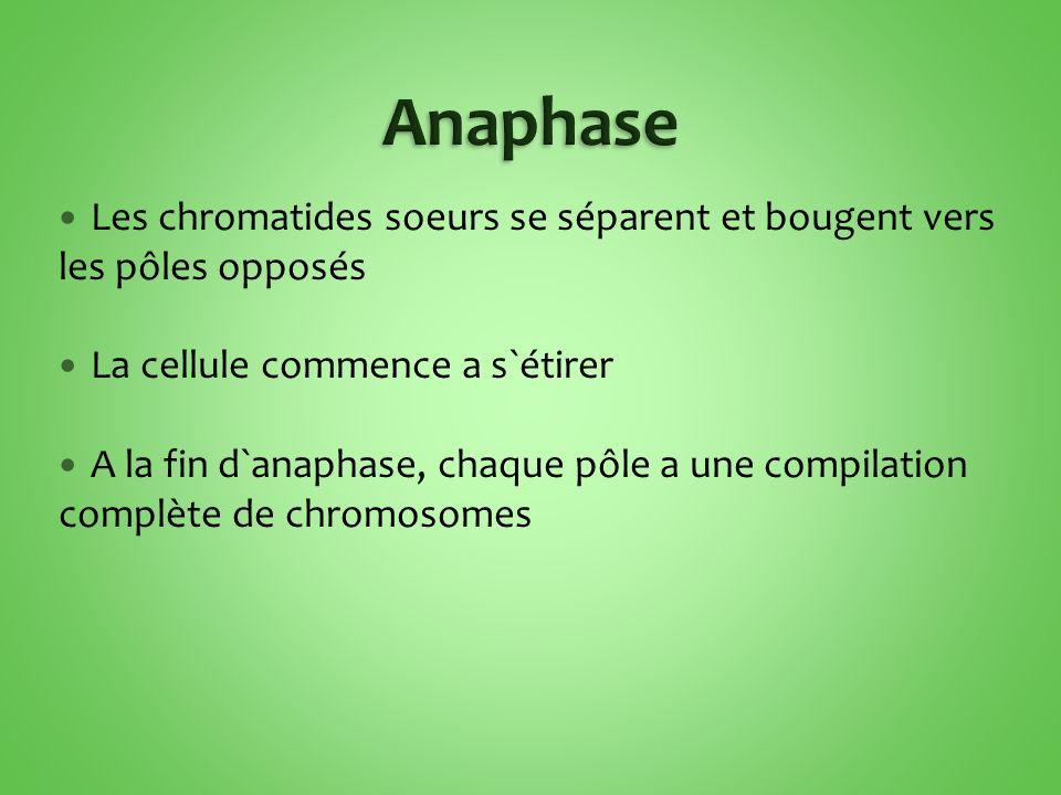 Les chromatides soeurs se séparent et bougent vers les pôles opposés La cellule commence a s`étirer A la fin d`anaphase, chaque pôle a une compilation