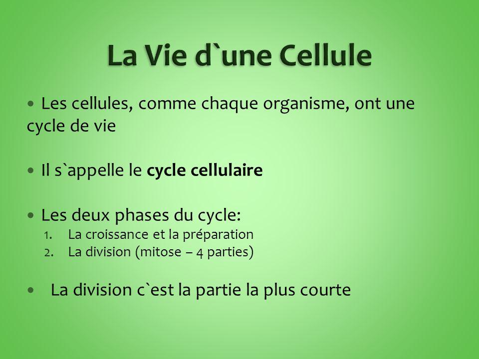 Les cellules, comme chaque organisme, ont une cycle de vie Il s`appelle le cycle cellulaire Les deux phases du cycle: 1.La croissance et la préparation 2.La division (mitose – 4 parties) La division c`est la partie la plus courte