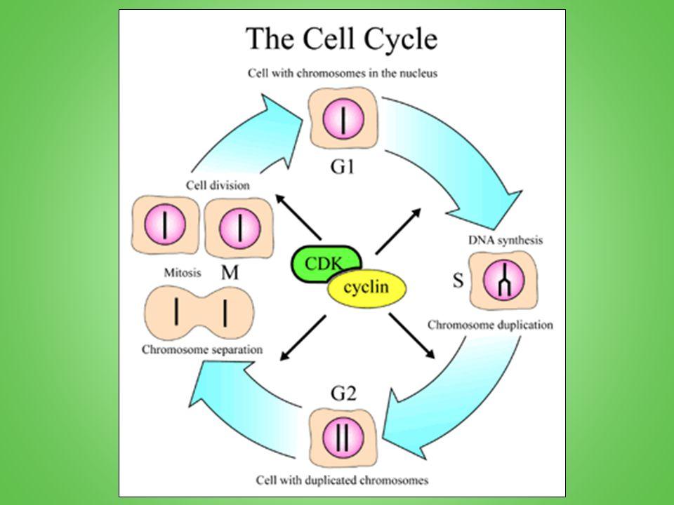 La croissance et la préparation = interphase Interphase est important.
