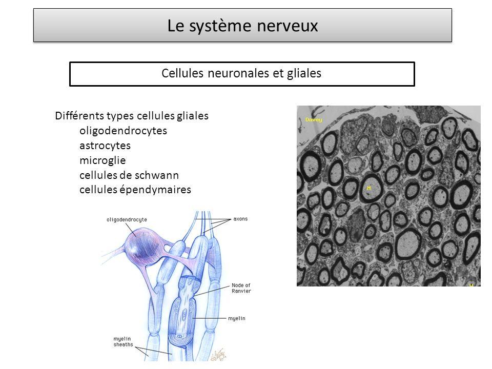Le système nerveux Cellules neuronales et gliales Différents types cellules gliales oligodendrocytes astrocytes microglie cellules de schwann cellules